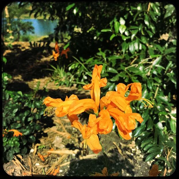 写真: Tecoma capensis 4-8-18