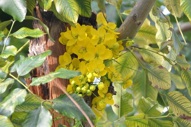 Golden Shower Tree III 4-21-18