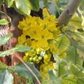 Golden Shower Tree III 4-21-18