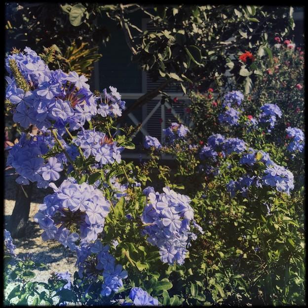 写真: Blue Plumbago II 4-8-18