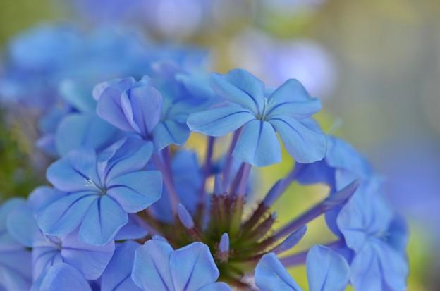 Blue Plumbago 4-8-18
