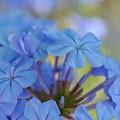 写真: Blue Plumbago 4-8-18
