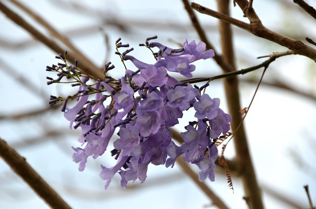 写真: Survived Jacaranda I 4-21-18