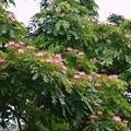 写真: Monkey Pod Tree I 5-16-18