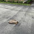 写真: Snapping Turtle 5-19-18