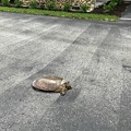 Snapping Turtle 5-19-18