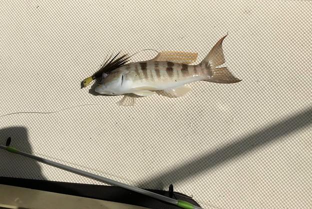 Photos: Bank Sea Bassかな。