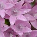 写真: Star Flower 5-16-18