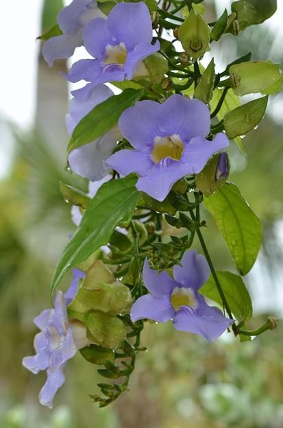 Blue Sky Vine II 5-16-18