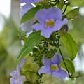 写真: Blue Sky Vine II 5-16-18