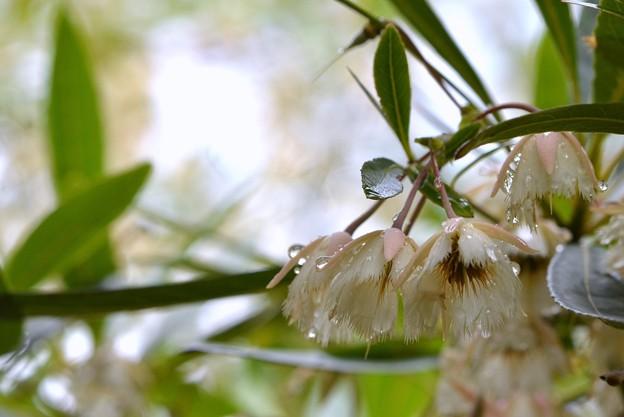 Elaeocarpus hygrophilus 5-16-18