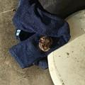 写真: A Guest_Southern Toad 6-15-18