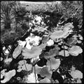Photos: Drying Lotus II 6-3-18