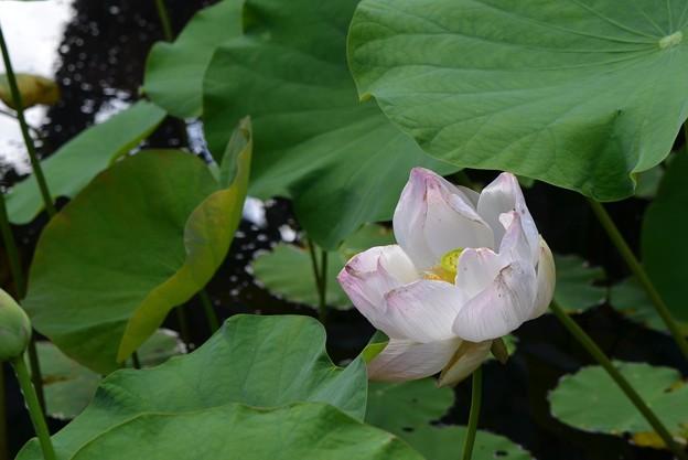 Drying Lotus III 6-3-18