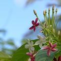 写真: Combretum indicum III 6-3-18