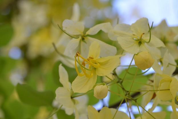 White Shower Tree IV 6-3-18