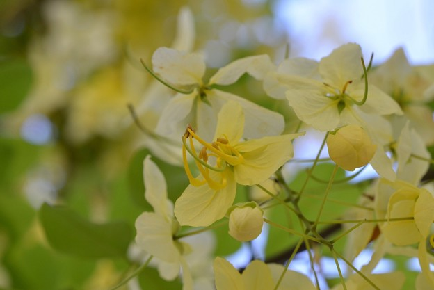 White Shower Tree IV 6-3-18
