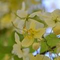 写真: White Shower Tree IV 6-3-18