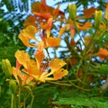 Royal Poinciana 6-3-18