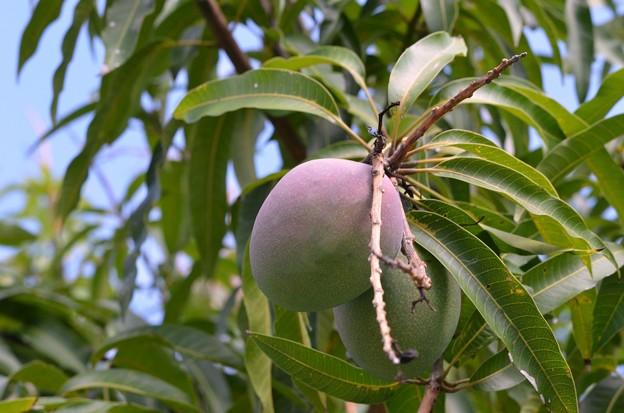 Mangoes 6-3-18