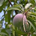 写真: Mangoes 6-3-18