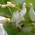 写真: White Jacaranda II 6-3-18