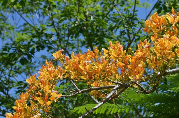 写真: Yellow Royal Poinciana I 6-3-18