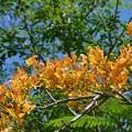 Photos: Yellow Royal Poinciana I 6-3-18