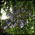 写真: Jacaranda caerulea IV 6-3-18