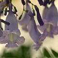 Photos: Jacaranda caerulea I 6-3-18