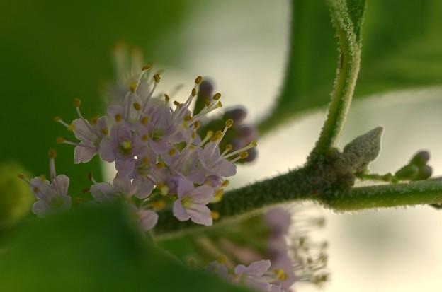 American Beautyberry I 6-3-18