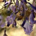 写真: Jacaranda caerulea II 6-3-18