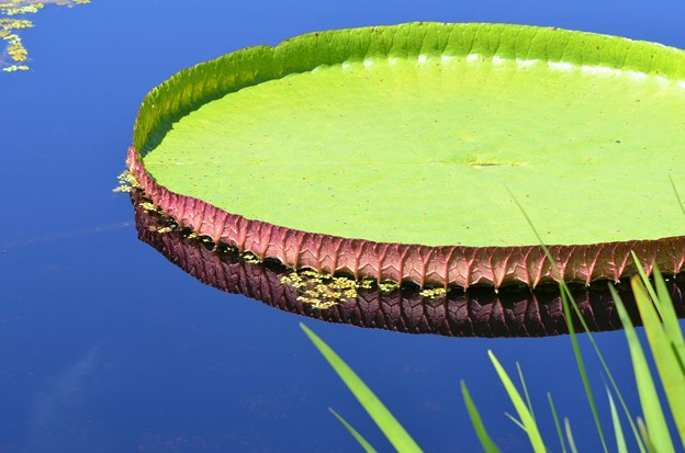 Giant Water Lily pad 6-3-18
