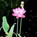 写真: A Tiny Lotus 6-17-18