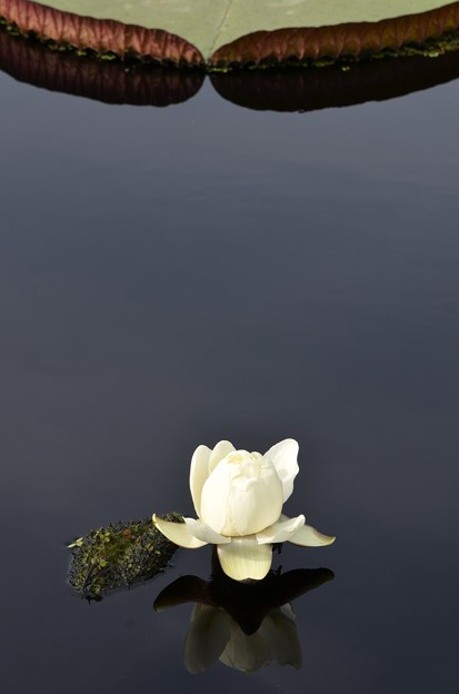 Amazon Water Lily 6-17-18