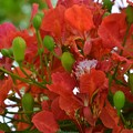 Royal Poinciana I 6-17-18