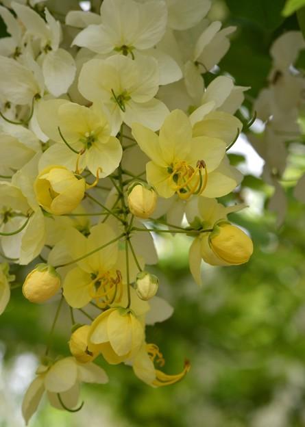 Photos: White Shower Tree II 6-17-18