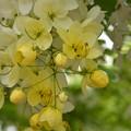 写真: White Shower Tree II 6-17-18