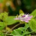 写真: Stinking Passionflower I 6-17-18