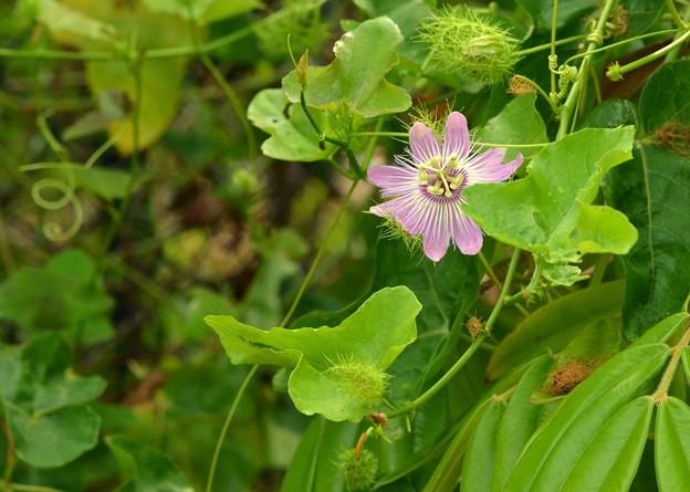 Stinking Passionflower II 6-17-18