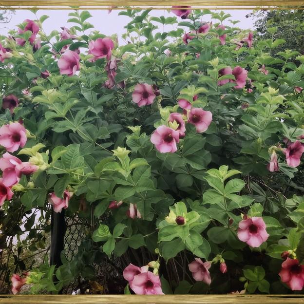 Allamanda Cherry Jubilee III 6-17-18