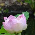 写真: Pink Lotus I 7-1-18