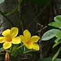 写真: Golden Trumpet Vine 6-17-18