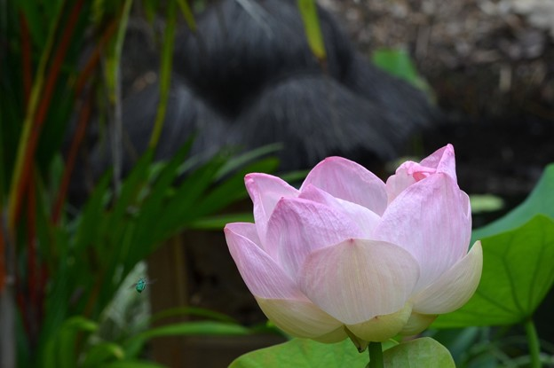 Pink Lotus II 7-1-18