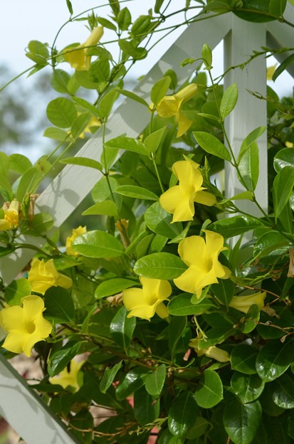Yellow Mandevilla 6-17-18
