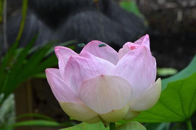 写真: Pink Lotus III 7-1-18