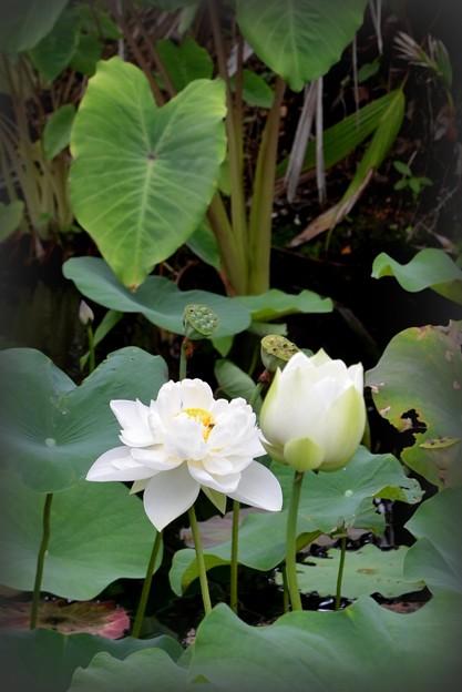 写真: White Lotus I 7-1-18