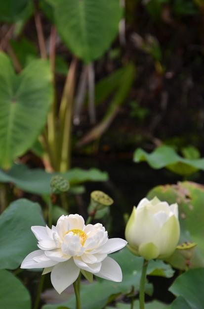 写真: White Lotus II 7-1-18