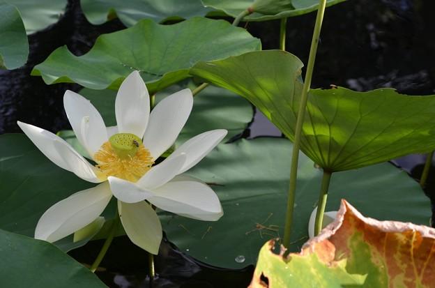 Sacred Lotus I 7-1-18