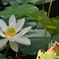 写真: Sacred Lotus I 7-1-18